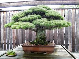 fancy world oldest bonsai tree 77 for your with world oldest