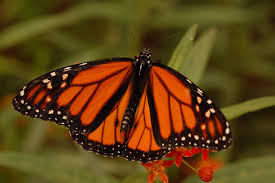 Monarch Migration Map Butterflies Migration Path Tracked By Generations For First Time