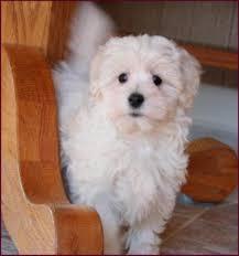 haircutsfordogs poodlemix haircut for adult maltese animal love pinterest maltese dog