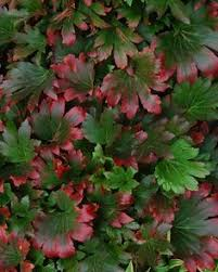 Learn More About Full Sun by Max Frei Bloody Cranesbill Brilliant 1 Inch Carmine Rose Flowers