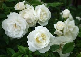 roses for sale roses on sale iceberg roses only r55 each durbanville