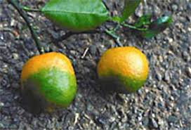 houston fruit tree sale citrus plant sales temporarily banned in harris county houston