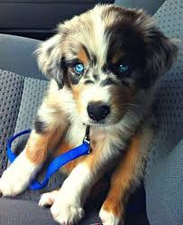 australian shepherd dalmatian mix 23 husky mixes and other cross dog breeds that redefine what cute is