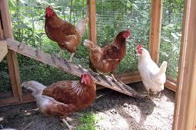 backyard chicken keeping u2013 southern harvest