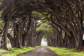 tunnel cypress tree tunnel in point reyes national seashore california