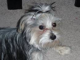 haircut for morkies morkie madness what will my morkie puppy look like at adulthood