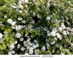 Tree With Little White Flowers - spring flowering bush studded small white stock photo 487520362