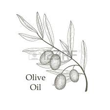 olive tree branch with olives isolated sketch over white