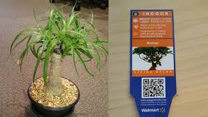 need help identifying a possibly mislabeled tree from walmart