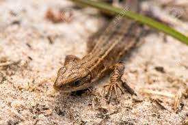 Seeking Lizard Macro Of A Lizard Early Nature Is Awakening