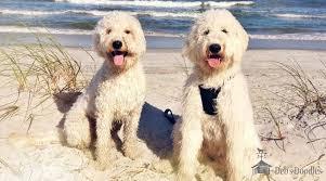 goldendoodle puppy virginia goldendoodle puppies and sheepadoodle puppies in virginia and