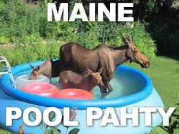 Moose Meme - 57 best moose obsession images on pinterest wild animals