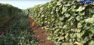 use of trellis system for climbing vegetables success story