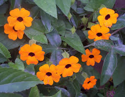 thunbergia gregorii o gibsonii evergreen perennial climber