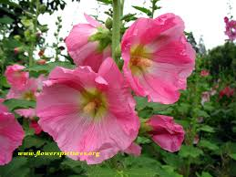 hollyhock flowers hollyhock flower pictures pictures of hollyhock flowers