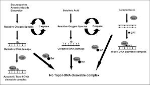 betulinic acid a catalytic inhibitor of topoisomerase i inhibits