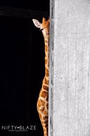 best 25 giraffes ideas on pinterest giraffe baby giraffes and