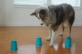 australian shepherd iq i gave my dog an iq test and here u0027s what happened barkpost