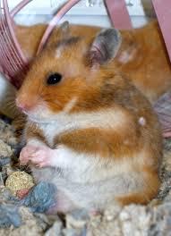Petsmart Hamster Cages Hamster Habitat Choose Hamster Cages