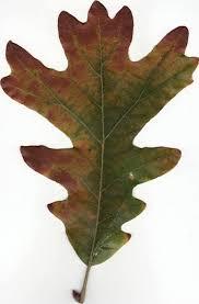 omeka ctl uvm tree profiles white oak white oak symbols and