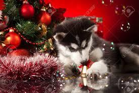 siberian husky puppy with decoration stock photo