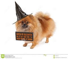 happy halloween transparent background pomeranian halloween witch dog stock photo image 45202679