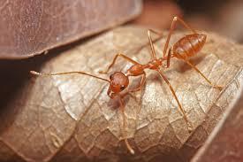 list of ants of australia wikipedia