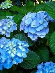 Hydrangea Flowers The 25 Best Nikko Blue Hydrangea Ideas On Pinterest Blue