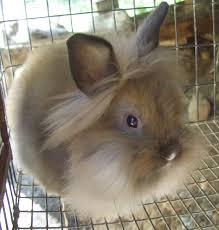 lion heads for sale flemish rabbits for sale
