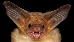 Bathtub Battleship Common Vampire Bat National Geographic Images Of A Bathroom Animal