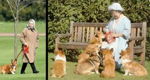 queen elizabeth dog queen elizabeth swore no more dogs then this corgi needed a home