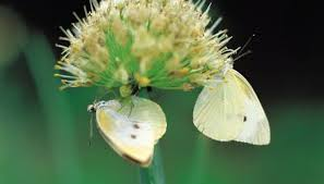 the cycle of a cabbage white butterfly animals me