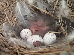 Barn Swallow Nest Pictures File Hatching Barn Swallow Hirundo Rustica Nestlings Nest Eggs