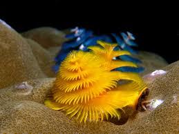 underwater peanut worm christmas tree worm worm beautiful marine