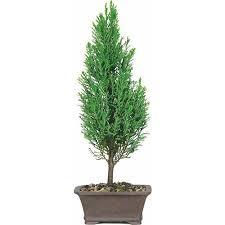 buy european cypress bonsai tree in cheap price on alibaba