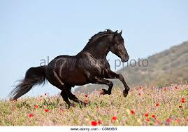Black Mustang Horse Black Horse Running Stock Photos U0026 Black Horse Running Stock