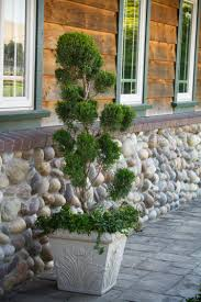 Eugenia Topiary Mint Julep Juniper Monrovia Mint Julep Juniper