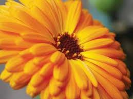 calendula flowers celebrate calendula flowers plant profile earth living