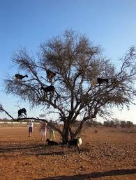 the tree goats of morocco tamri morocco atlas obscura