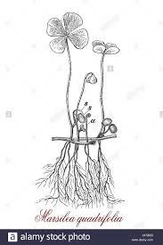 four leaf clover or marsilea quadrifolia can grow as potted plant