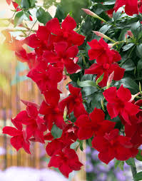 sundaville giant red world u0027s no 1 mandevilla dipladenia