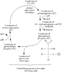 Light Independent Reactions Definition Process Of Photosynthesis