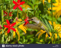 a ruby throated hummingbird feeds from royal catchfly plant stock