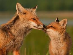Delaware wild animals images 30 best foxes images foxes red fox and wild animals jpg