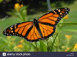 monarch butterfly with wings spread feeding on yellow