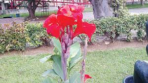 Canna Lilies Colourful Canna Lilies U2014 Saturday Magazine U2014 The Guardian Nigeria