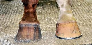 Signs Of Blindness In Horses Horse Hoof Problems U0026 Diseases Smartpak Equine