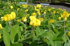 5 perennial peanut pinto ground cover yellow flower