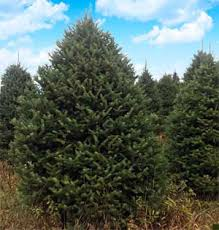 live christmas trees fraser fir christmas trees for sale baptist church