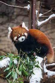 red pandas snow via lincoln park zoo chris bijalba album on imgur
